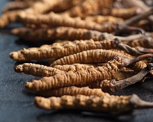 Taming The Wild Cordyceps
